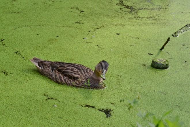 Лосинный остров. Любопытная утка