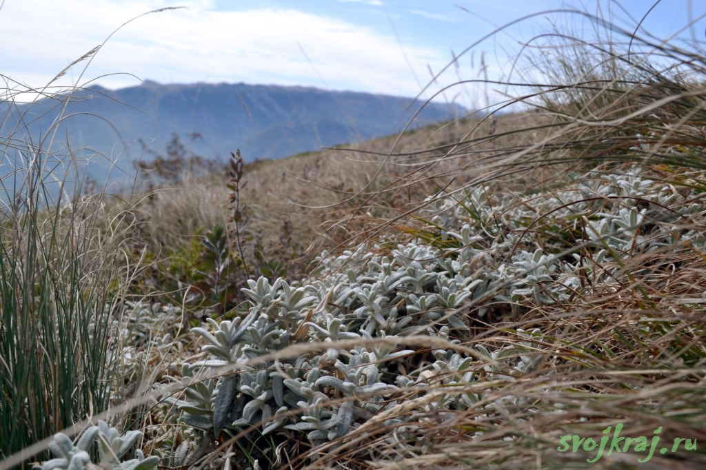 Бархатный крымский эдельвейс