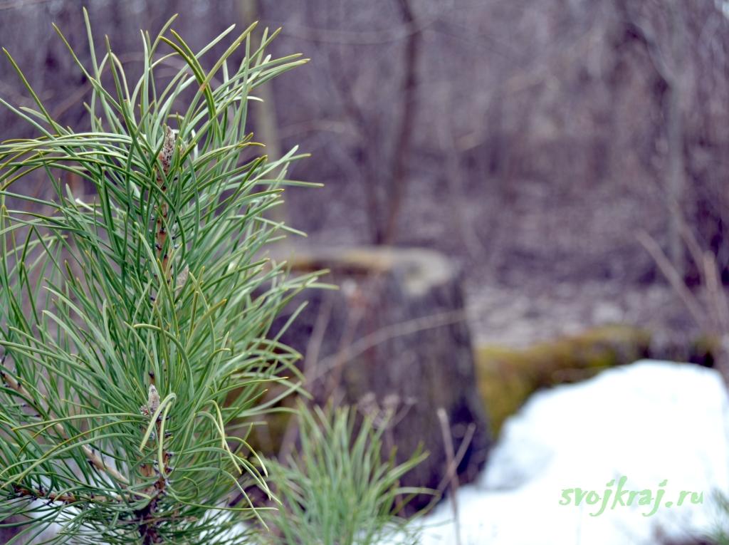 Пейзаж Кучерявая елка. Сосна. Ель. Старый пень
