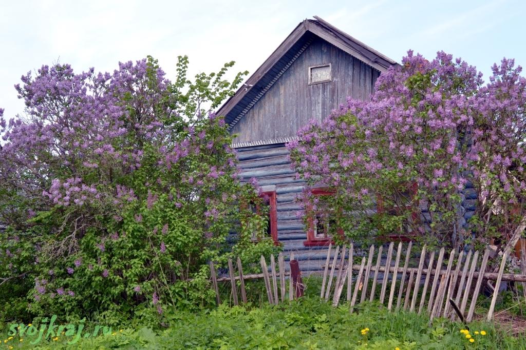Старый деревенский дом. Огромные кусты сирени