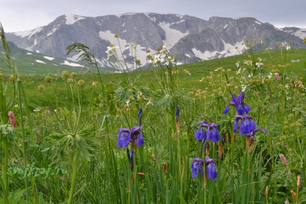 Ирисы и гора Пшеха-Су