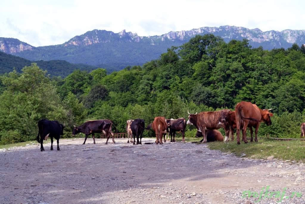 Коровы на фоне горы Спящий Черкес
