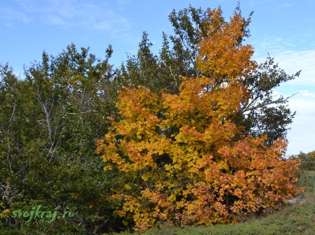 Осенняя листва. Клен