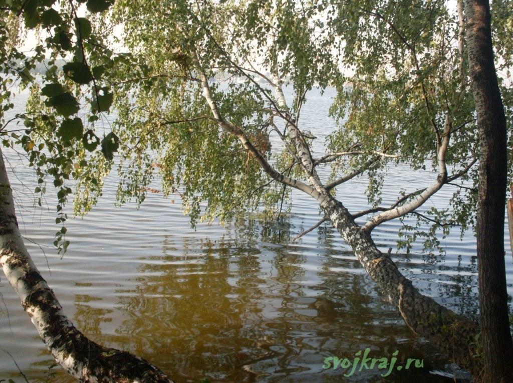 Береза в воде
