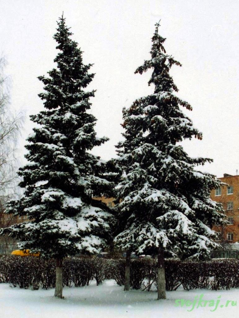 Три елки под снегом