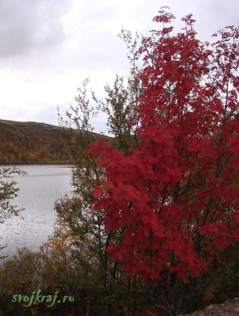 Огненно-красное дерево