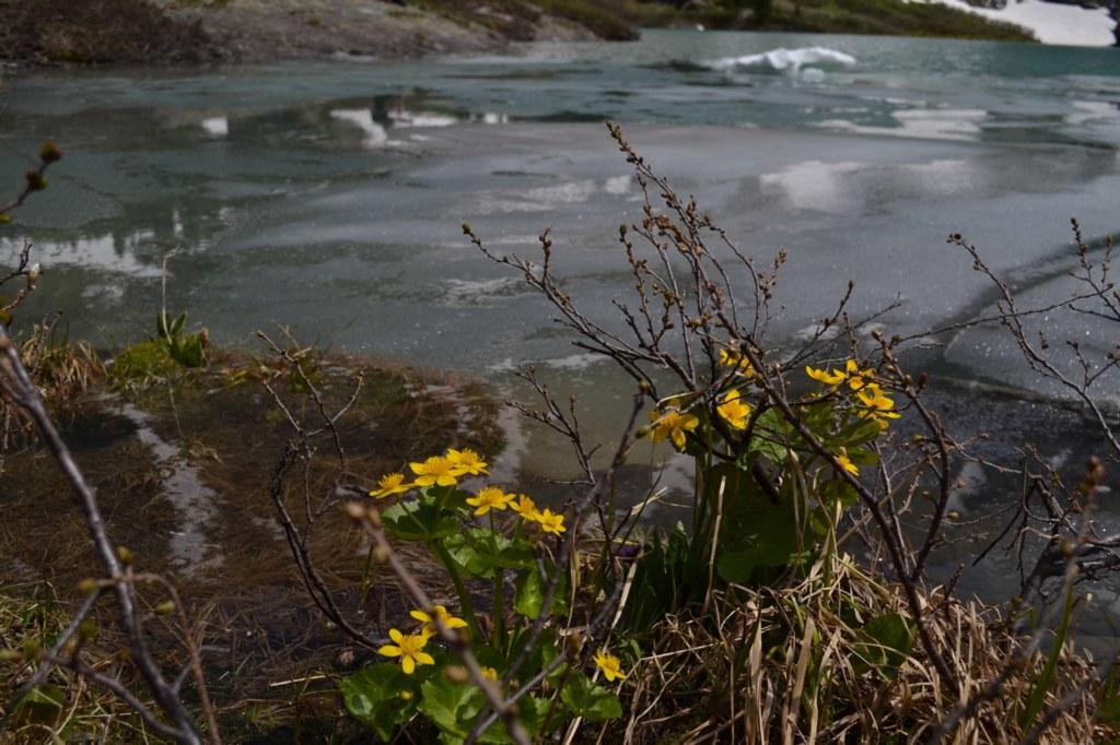 Алтай. Озеро Куйгук. Цветы