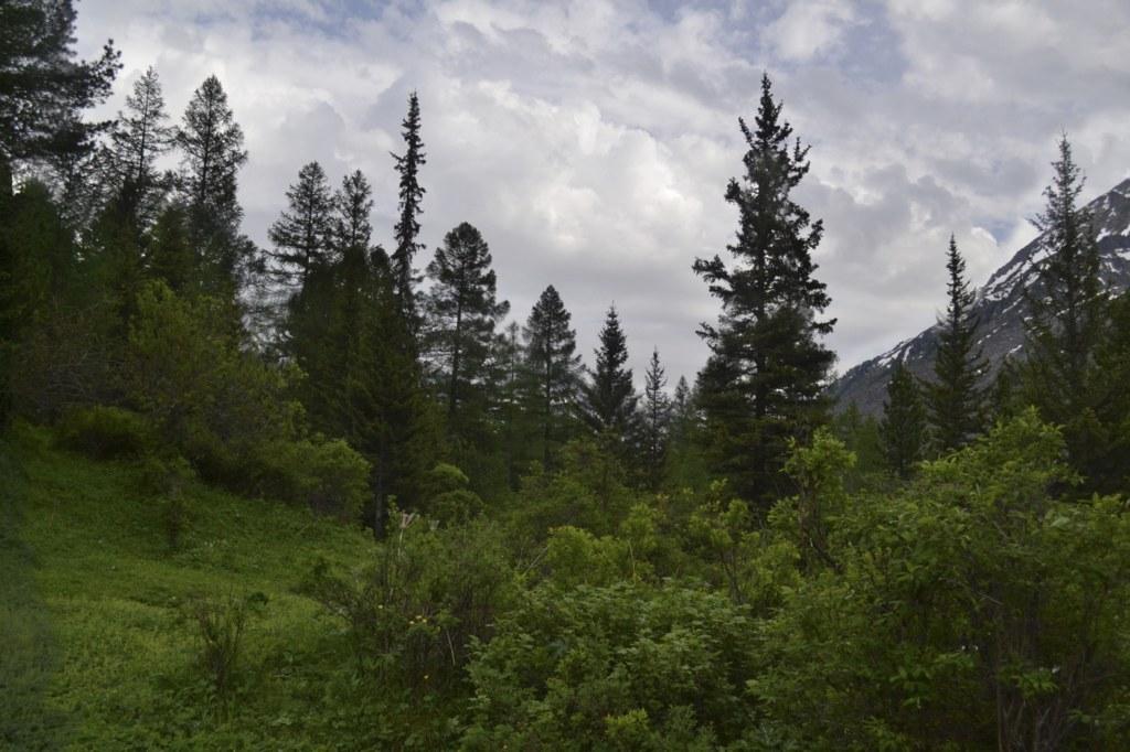 Алтай.  Кедры и облака