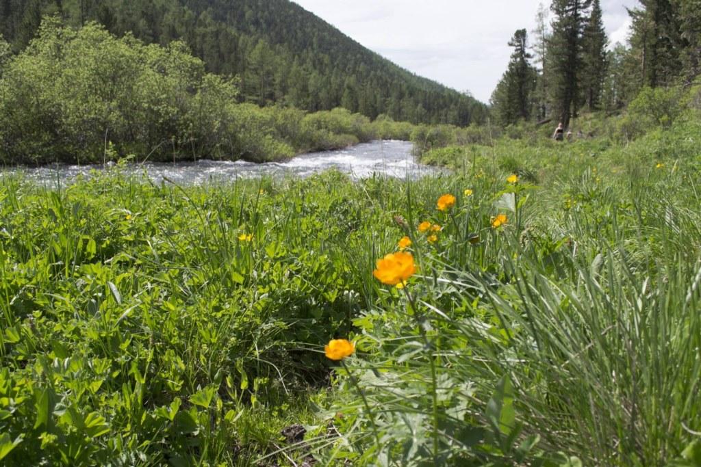 Алтай. Река Мульта. Цветы