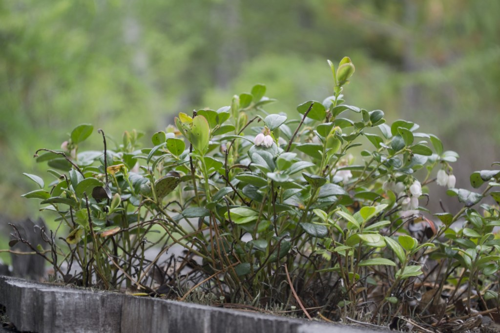 Алтай. Цветет брусника