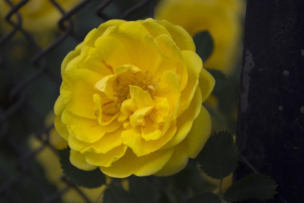 Желтый шиповник