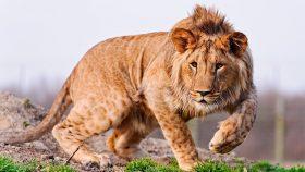 Лев - мой зверь